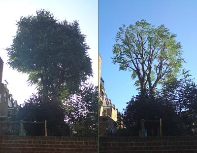 Tree of Heaven, before and after 20% thinning and 20% reduction