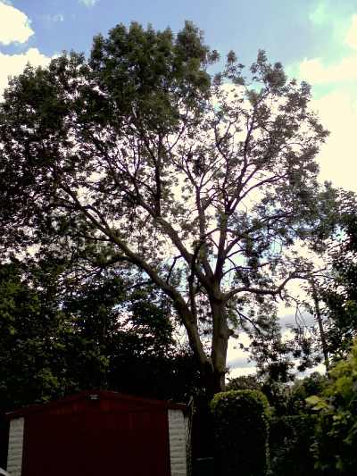 Tree reducing in progress: one side of this Ash tree has been reduced, the other is still to be done